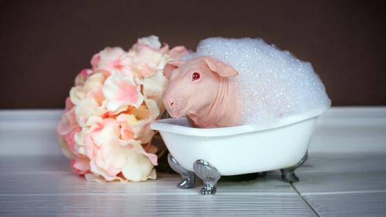Csóré tengerimalac innen: http://mashable.com/2016/01/13/guinea-pig-strawberry-shortcake-bath-time/?utm_cid=mash-com-fb-uk-link#Zd2zm.Y3iuqI