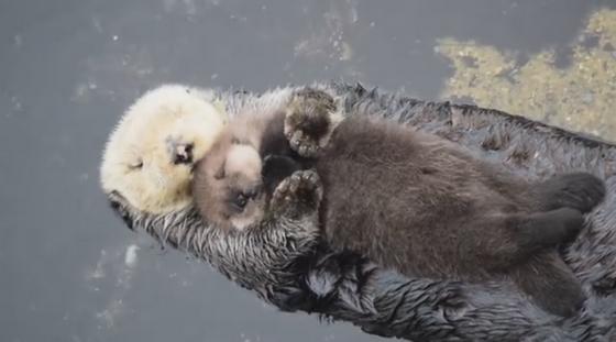 Anyuka karjaiban alvó kisvidra innen: http://mashable.com/2016/01/11/baby-sea-otter-nap/#1UgLHTA9TiqP