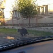 Fényes nappal járt a medve Karcfalva központjában