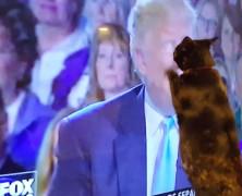 Ez a cica nem tud ellenállni Trump képének, és jól megpofozza